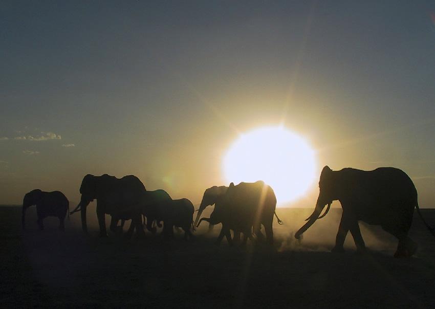 Amboseli elephants on row. Photo: ElephantVoicesw