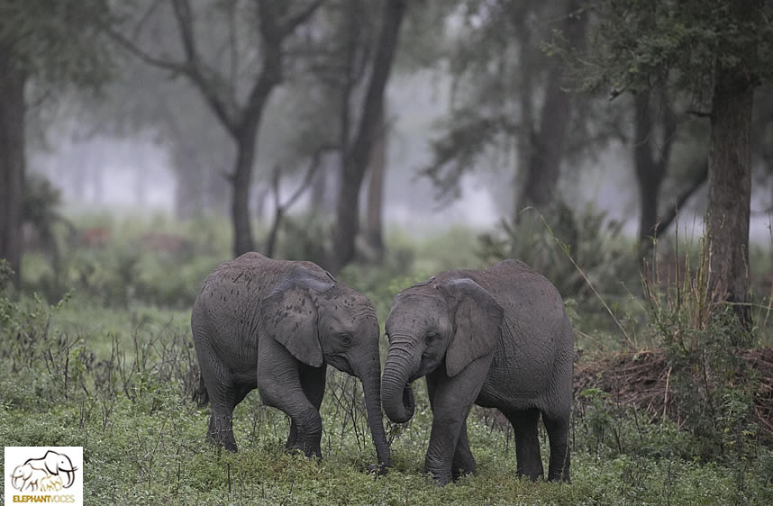Gorongosa elephants. ©ElephantVoices