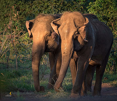 Guida and Maia, the first two elephants getting a new life in Elephant Sanctuary Brazil. Photo: Ana Zinger.