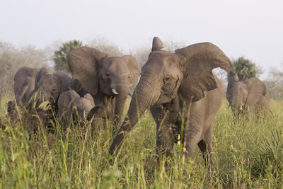 Corajosa leads a Group-Charge by members of the C family of the Urema Clan. Note the distinctive u-shaped tear in her left ear. This family is made up of 19 adult females, five have two tusks, two have one tusk and 12 are tuskless; the family lacks cohesion. ©ElephantVoices.