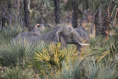 Provocadora and family members in dense Gorongosa habitat. ©ElephantVoices.
