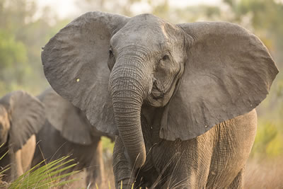 Tuskless matriarch, Valda, has a hole in her right ear that we believe was made by a bullet. ©ElephantVoices.
