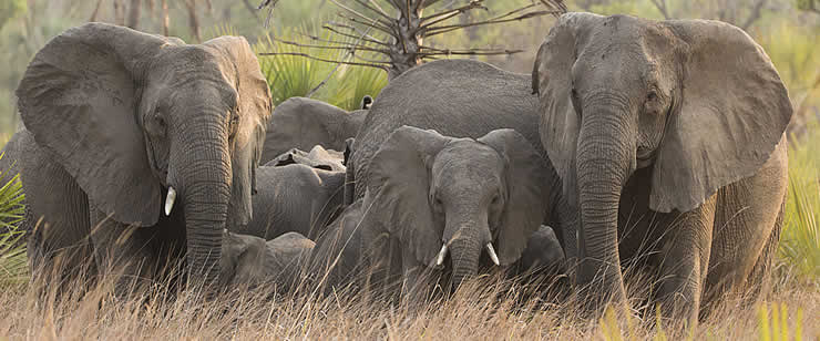 Members of the V family of the Pungue Clan. Facing the camera are Vigilante (left) and matriarch, Valda (right), with Valda's six year old son in the middle. Of the seven adult females in the family, one has two tusks, Vigilante has one, and the remaining five are tuskless. ©ElephantVoices.