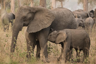 Isabella nursing two calves, one of whom is not hers. ©ElephantVoices.