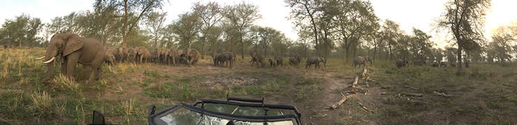 Here we parked 200 meters from the Mabenzi family, and allowed them to approach us. They eventually surrounded our car, some coming as close as four meters. They stayed with us for half an hour. In the picture the closest elephant to us is musth male, Viajante. ©ElephantVoices.
