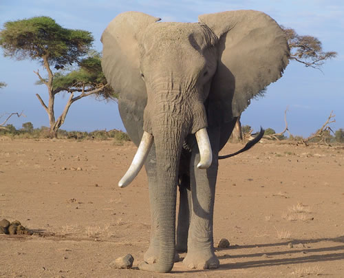 Amboseli male. (©ElephantVoices)