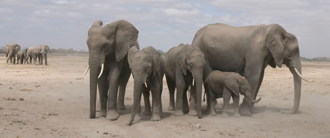 Section of GB family in Amboseli wait for their one-tusked matriarch, Grace, to catch up. (©ElephantVoices)