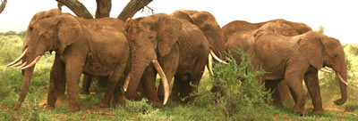 Bull group Amboseli. (©ElephantVoices)