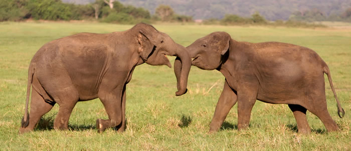 Minneriya males sparring. (©ElephantVoices)