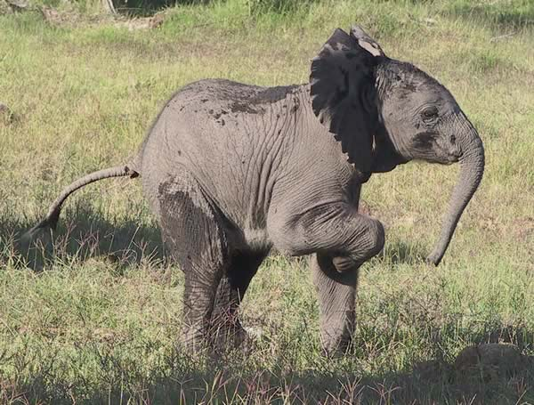 Playful Amboseli calf. (©ElephantVoices)