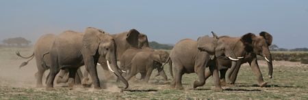Elephants Floppy-Running. (©ElephantVoices)