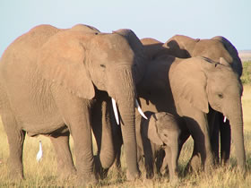 Fragment of a family group walks towards the rest of their family, Amboseli. (©ElephantVoices)