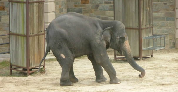 Tony in National Zoo, Washington DC, a couple of weeks before she died.  (©ElephantVoices)