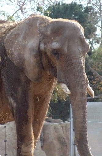 Susi in Barcelona Zoo, December 2008. (©Foundation FAADA)
